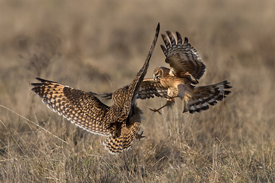 The northern harriers and short-eared owls share the same space, but they don't exactly get along