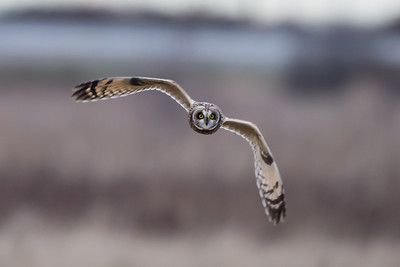 Short-eared owls are also plentiful and very active throughout the day