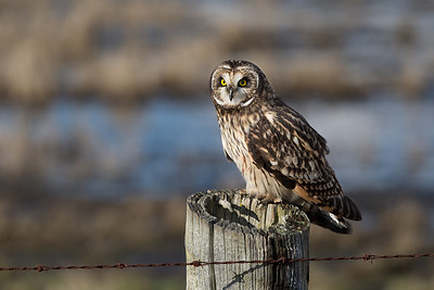 Short-eared owl striking a nice pose