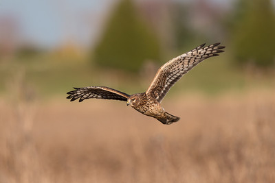 A female northern harrier