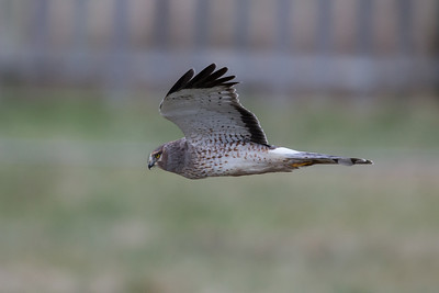 Northern harriers are plentiful in the area.  This is a male.