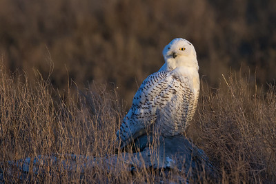 The best light for snowy owl photos is just before sunset