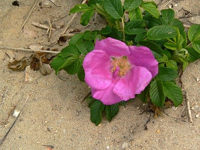 Beach rose (Rosa rugosa)