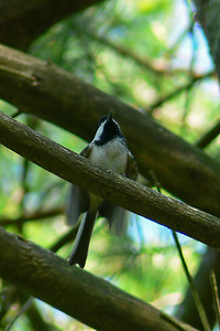 Chickadee chick