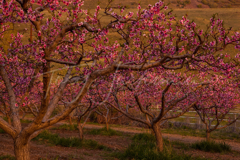 Peach Orchard, Perry, Utah