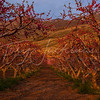 Perry, Utah Peach Orchard