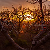 Peach Orchard Sunset, Perry, Utah