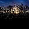 Sunset, Peach Orchard, Silouette