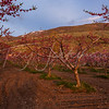 Perry,  peach orchard