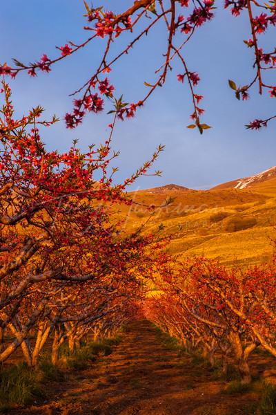 Peach Orchard, Perry Utah
