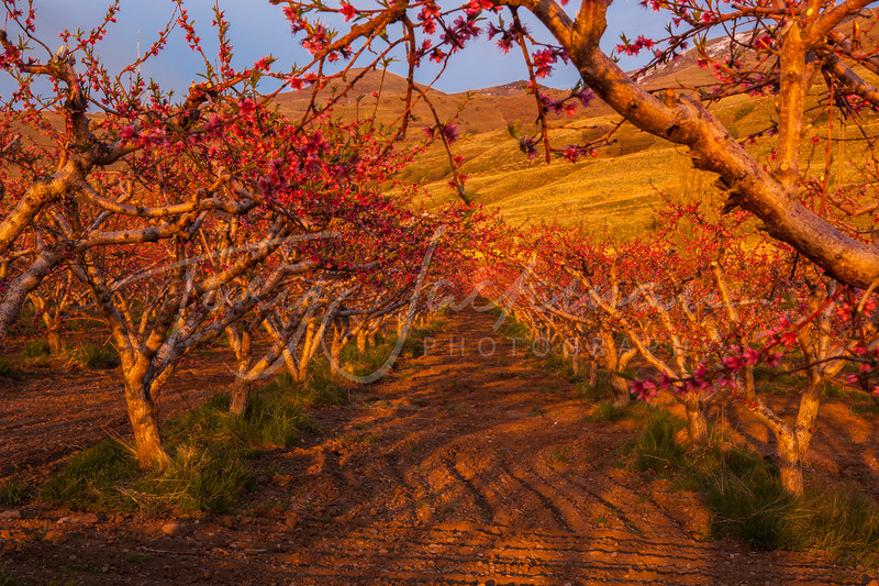 Peach Orchard, Perry Utah