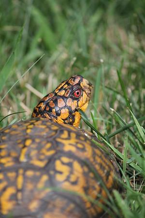 Box Turtle August 2016