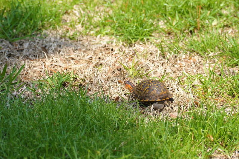 Box Turtle in yard at 309 RR, Brunswick, Georgia 06-13-12