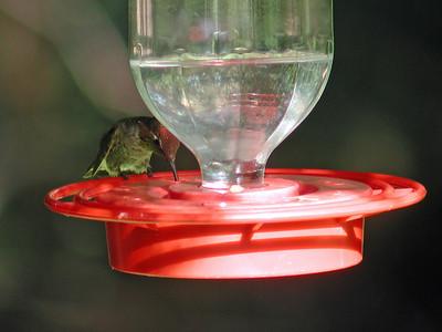 2012-09-16 Anna's Hummingbird