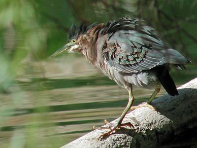 2012-09-16 Green Heron