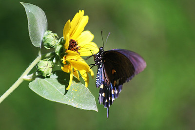 2012-09-16  Pipevine Swallowtail