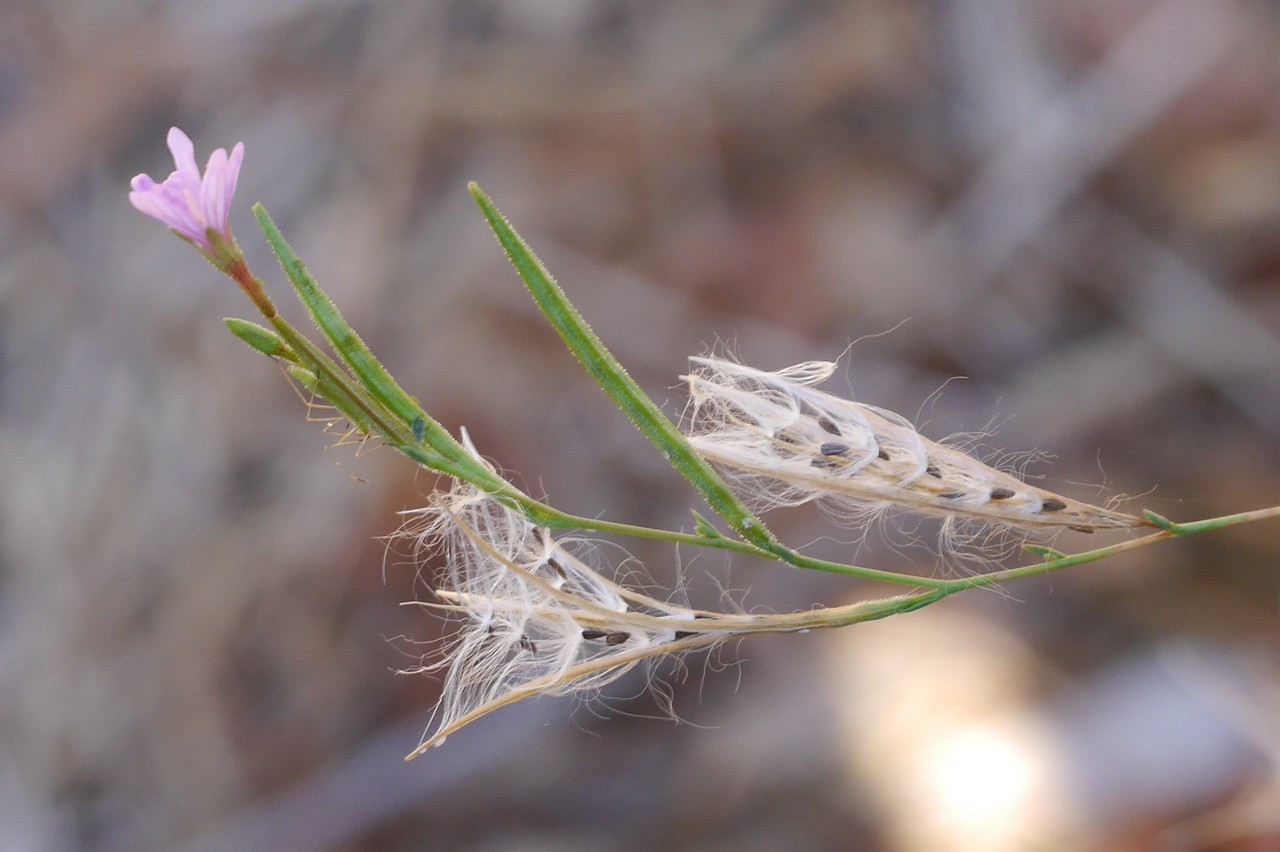 I set out to get pictures of the brachycarpum seeds and pods.  This picture shows  them nicely along with legs of a good sized insect.<br /> <br /> I suppose that insects are photobombing pictures now.