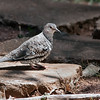 Columbina squammata<br /> Fogo-apagou<br /> Scaled Dove<br /> Palomita escamada - Pyku'i pini