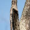 Nyctibius griseus<br /> Urutau<br /> Common Potoo<br /> Urutaú - Urutau