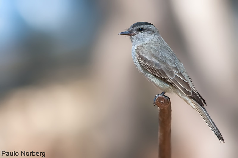 Griseotyrannus aurantioatrocristatus<br /> Peitica-de-chapéu-preto<br /> Crowned Slaty Flycatcher<br /> Tuquito gris - Suiriri hû