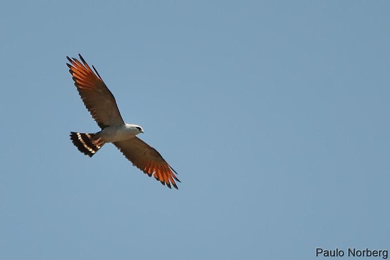 Ictinia plumbea<br /> Sovi<br /> Plumbeous Kite<br /> Milano plomizo - Sui sui