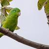 Forpus xanthopterygius<br /> Tuim<br /> Blue-winged Parrotlet<br /> Viudita - Mbembéi