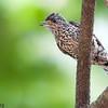 Picumnus albosquamatus<br /> Pica-pau-anão-escamado<br /> White-wedged Piculet<br /> Carpinterito - Ypekû ne'i