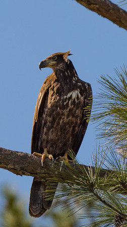 The Juvenile Bald Eagle sits in the morning sun.
