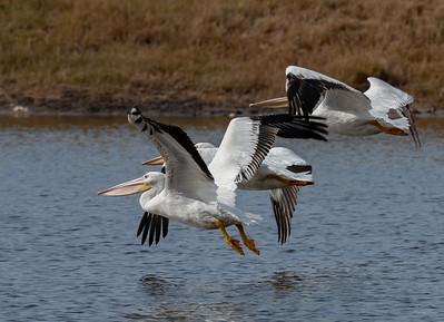 A group of White Pelicans is known as a Squadron