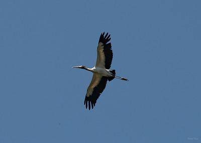 Wood Stork flying over Woods Pond.