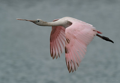 First Year Roseate Spoonbill
