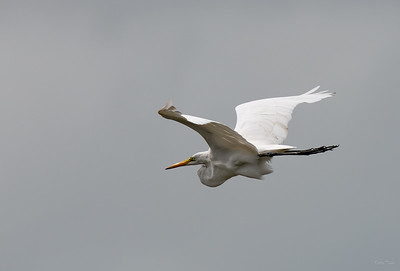 Great Egret flying over Captain Brian's fishing boat.