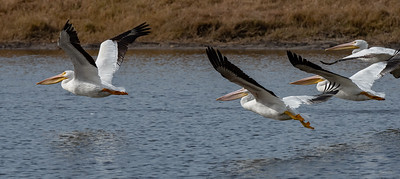 White Pelicans are almost double the size of a Brown Pelican
