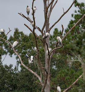 An old snag, perfect for the Wood Storks.