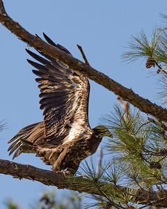 Juvenile Bald Eage ready to take flight.