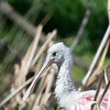 Young Roseate Spoonbill