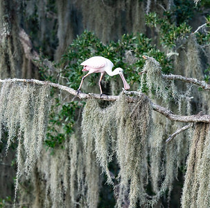 Pink and Pretty surrounded by Spanish Moss, the lovely Roseate Spoonbill.