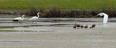 Young White Ibis..