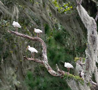 White Ibis sit in a snag at lower Davis Pond.