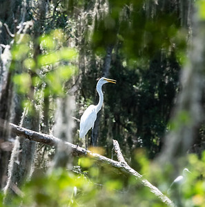 Great Egret, staying cool.