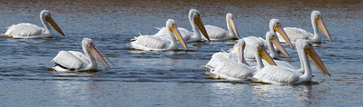 The White Pelicans are know to work together while gathering food.