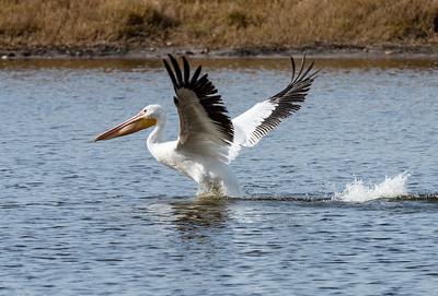 American White Pelican, (Pelecanus erthyrorhtnchos)