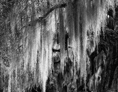 A beautiful curtain of Spanish Moss