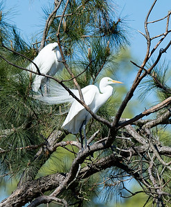 Great Egrets at Marvin's Pond