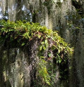 Resurrection Fern is and Spanish Moss