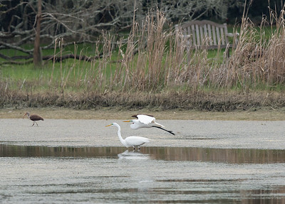 Great Egrets and young White Ibis