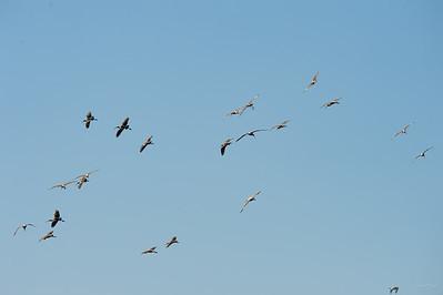 Immature White Ibis in flight.