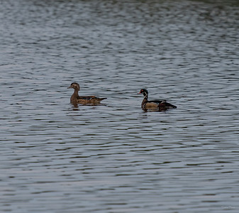 A pair of Wood ducks.