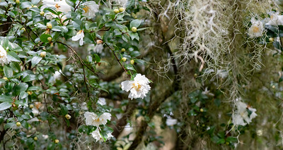 A Camellia blooming in front of the Inn