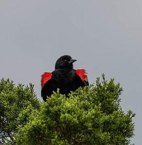 Red-winged Blackbird.